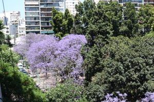 The jacarandas in bloom in the Jardín Botánico